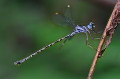 Blue-spotted Flatwing damselfly Podolestes orienta Royalty Free Stock Photography