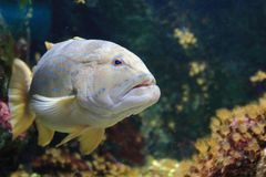 Blue spotted grouper Royalty Free Stock Photo