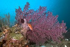 Blue-spotted grouper in large purple seafan stock photo