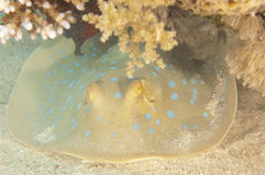 Blue spotted lagoon ray on a tropical reef Stock Photo