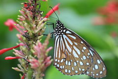 Blue Spotted Milkweed butterfly and flower Royalty Free Stock Images