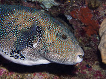 Blue spotted puffer Stock Images