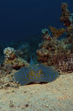 Blue Spotted Ray Royalty Free Stock Photo