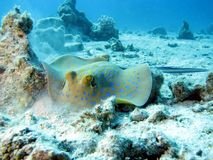 Blue Spotted Ray Royalty Free Stock Photography
