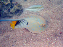 Blue Spotted Ray Royalty Free Stock Images