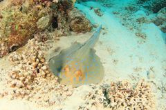 Blue spotted ray stock image
