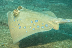 Blue Spotted ray close up eyes detail in Sipadan, Borneo, Malaysia Royalty Free Stock Images