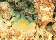 Blue spotted ray on coral reef royalty free stock photography