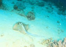 Blue spotted ray in sand stock image