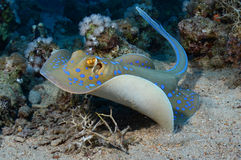 Blue Spotted Ray Stock Photos