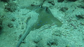 Blue spotted ray swimming amongst coral reef on the ocean floor, Bali stock footage
