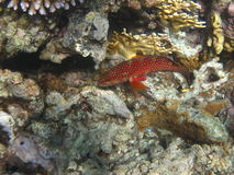 Blue spotted Red grouper Royalty Free Stock Photos