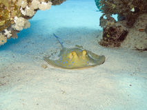 Blue-spotted ribbontail ray royalty free stock image