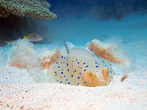 Blue-spotted ribbontail ray royalty free stock photos