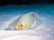 Blue-spotted ribbontail ray Stock Photography