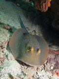 Blue Spotted Ribbontail Ray - Taeniura lymma Stock Photography
