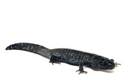 Blue Spotted Salamander (Ambystoma laterale) Stock Photos