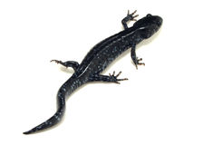 Blue Spotted Salamander (Ambystoma laterale) Royalty Free Stock Photography