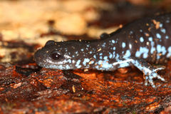 Blue-spotted Salamander (Ambystoma laterale) Royalty Free Stock Image