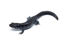 Blue-spotted Salamander (Ambystoma laterale) Stock Photography