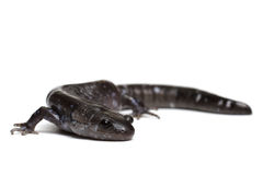Blue-spotted Salamander Stock Photos
