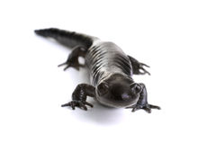 Blue-spotted Salamander Royalty Free Stock Photo