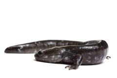 Blue-spotted Salamander Royalty Free Stock Images