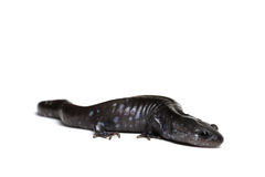 Blue-spotted Salamander Stock Photography