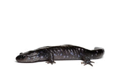 Blue-spotted Salamander Royalty Free Stock Photos