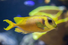 Blue-spotted spinefoot Siganus corallinus Royalty Free Stock Image