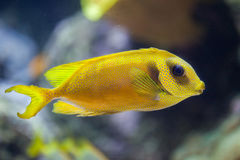 Blue-spotted spinefoot Siganus corallinus Stock Photography