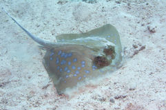 Blue spotted sting ray. Picture of a blue spotted sting ray caught in the Adaman sea, similans island, thailand Royalty Free Stock Images