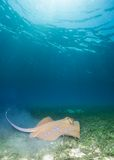 Blue spotted sting ray Stock Image