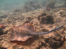 Blue Spotted Stingray Stock Photo