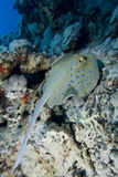 Blue Spotted stingray Royalty Free Stock Images