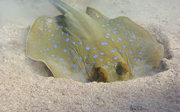Blue Spotted Stingray Royalty Free Stock Photos