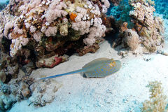 Blue spotted stingray. In the red sea royalty free stock photo
