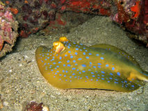 Blue-spotted Stingray royalty free stock photos
