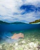 Blue spotted stingray. Half underwater shoot Stock Photos