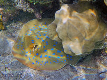 Blue spotted stingray Stock Photos