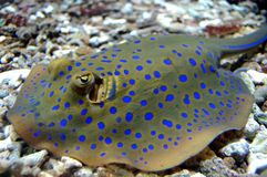 Blue Spotted Stingray. On gravel Royalty Free Stock Photography