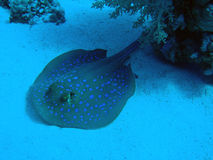 Blue Spotted Stingray. (Dasyatis kuhlii) resting on the bottom of the Red Sea, Egypt Royalty Free Stock Image