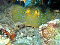 Blue-Spotted Stingray royalty free stock image