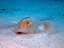 Blue spotted stingray. A Blue Spotted Stingray on sand. Taken in Red Sea Royalty Free Stock Images