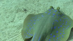 Blue Spotted Stingray in the Coral Reef Royalty Free Stock Photography