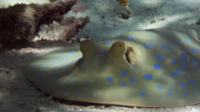 Blue Spotted Stingray on Coral Reef sandy bottom. stock footage