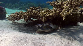 Blue Spotted Stingray on Coral Reef sandy bottom. stock video footage