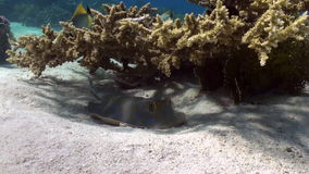 Blue Spotted Stingray on Coral Reef sandy bottom. stock video
