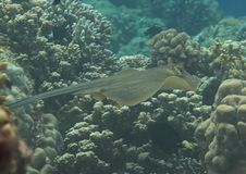 Blue-spotted stingray Dasyatis kuhlii swimming over coral reef of Bali, Indonesia royalty free stock photos