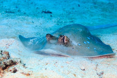 Blue Spotted Stingray Royalty Free Stock Photo